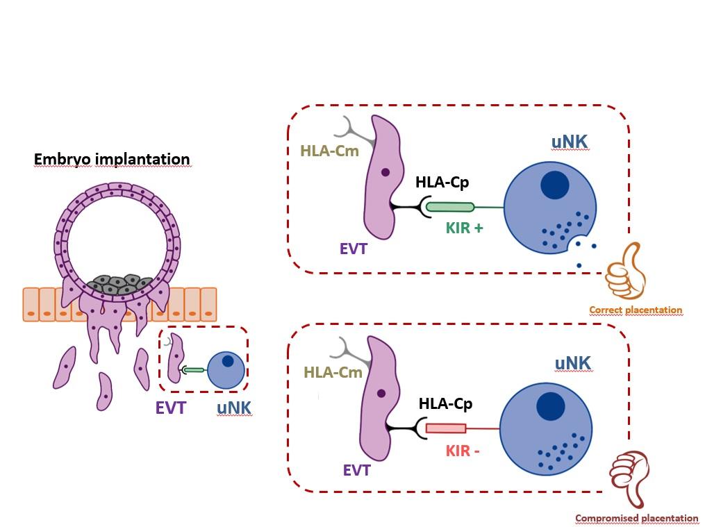 Los receptores similares a las inmunoglobulinas de las células KIR maternas predicen la tasa de nacidos vivos.
